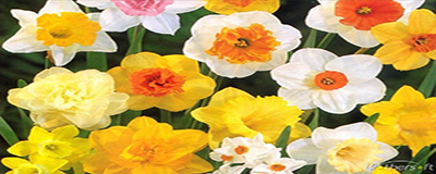 2015 Perry Park Daffodil Program Signup Is Now Open